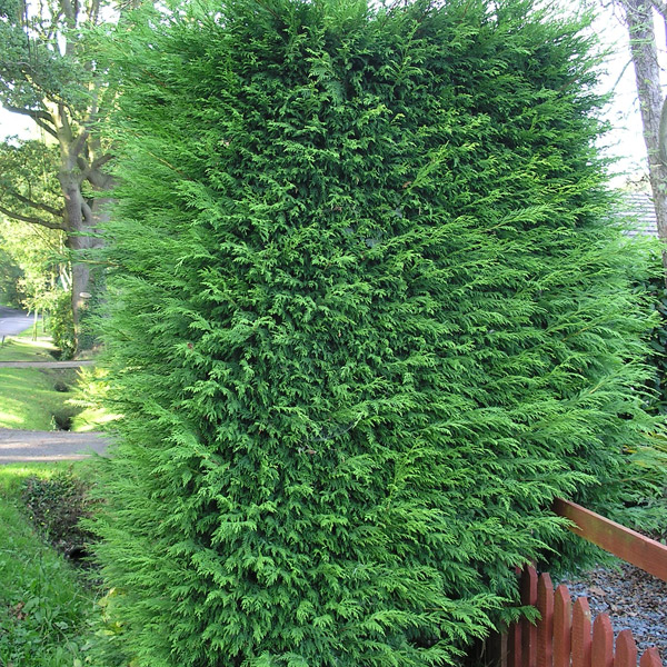 how to stop leylandii growing