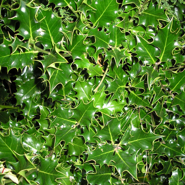 Slow Growing Hedge Plants http://www.springreachnursery.co.uk/hedging/ilex_pyracantha.html