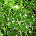 Ilex - aquifolium - English Holly