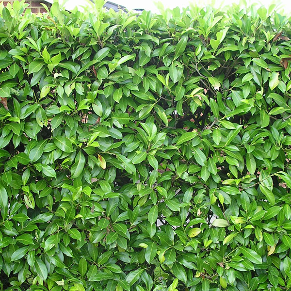 Prunus Rotunifolia - Laurel hedging