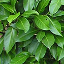 Prunus rotundifolia - Laurel