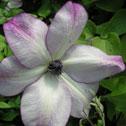 buy rabbit proof plants spring reach nursery. Black Bedroom Furniture Sets. Home Design Ideas